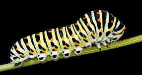 Caterpillar - yellow, black & orange